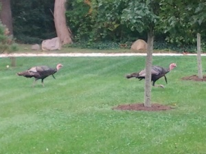 We would have eaten these two turkeys that walked through our yard also it we weren't so full!
