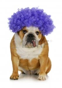 16693614-funny-clown-dog--english-bulldog-wearing-purple-clown-wig-on-white-background